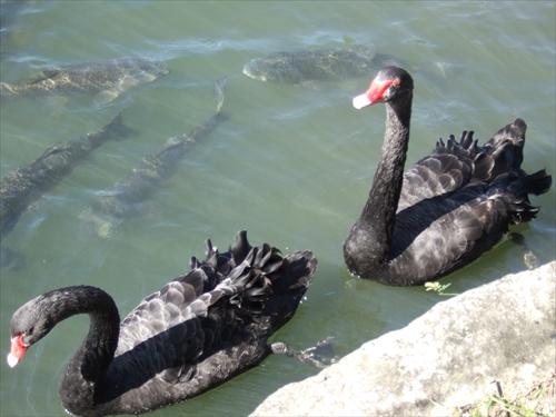 彦根城外堀の黒鳥