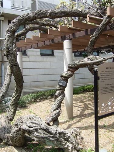造幣局・藤棚の「藤」の木